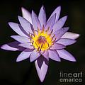 Pretty Purple Water Lily Squared by Sabrina L Ryan
