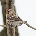 Pretty Redpoll by Cheryl Baxter