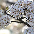 Pretty White Flowering Tree Flowers by P S