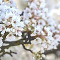 Pretty White Flowering Tree In Spring by P S