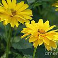 Pretty Yellow False Sunflowers In Bloom by DejaVu Designs