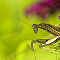 Preying Mantis by Geraldine Scull