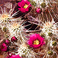 Prickley Cactus Plants by Elaine Plesser