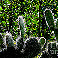 Prickly Juans by Al Bourassa