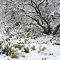 Prickly Pear Cactus And Mesquite Tree by John Shaw