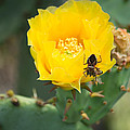 Cedar Park Texas Prickly Pear Cactus In Flower by JG Thompson