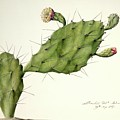 Prickly Pear (opunita Fiscus-indica) by Natural History Museum, London/science Photo Library