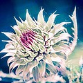 Prickly Thistle Bloom by Peggy Franz