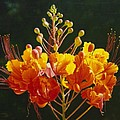 Pride Of Barbados by Gary  Hernandez