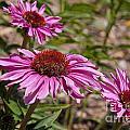 Primadonna Deep Rose Echinacea by Jason O Watson