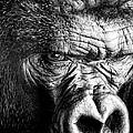 Primate by David Millenheft