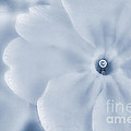 Primrose Cyanotype by John Edwards