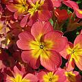 Primrose Flowers by Melinda Saminski