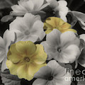 Primrose Flowers by Smilin Eyes  Treasures