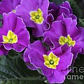 Primrose Purple by Deborah Benoit
