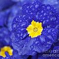 Primrose Raindrops by Emma England