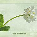 Primula Denticulata Alba by John Edwards