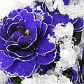 Primulas In The Snow by Wendy Le Ber