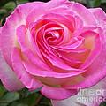 Princess Of Monaco Rose 1 by Geraldine Cote