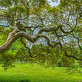 Princeton Japanese Maple Tree by Michael Ver Sprill