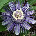 Pristine Passion Flower by Annette Allman