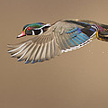 Probably The Most Beautiful Of All Duck Species by Mircea Costina Photography