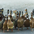 Professional Ducks 2 by Dianne Phelps