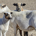 Professional Sheep by Dianne Phelps