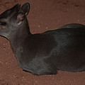 Profile Of A Blue Duiker by Jill Mitchell