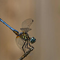 Profile Of The Dragonfly by Kim Henderson