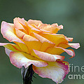 Profile View Yellow And Pink Rose by Terri Winkler