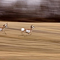 Pronghorn Antelope by Mark Duffy