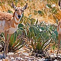 Pronghorn Antelope by Millard H. Sharp