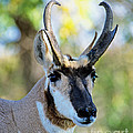 Pronghorn Antelope Portrait by Timothy Flanigan