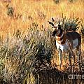 Pronghorn Buck by Deanna Cagle