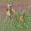Pronghorn Doe And Fawn by Karon Melillo DeVega