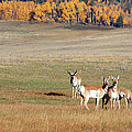 Pronghorn In The Park by Jim Garrison
