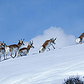 Pronghorn by Kim Upshaw