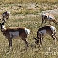 Pronghorn by Richard Lynch