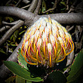 Protea Unwraping by Roy Bendell