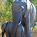 Protective Mother Elephant In Kruger National Park-south Africa by Ruth Hager