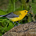 Prothonotary Warbler by Anthony Mercieca