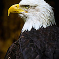 Proud Eagle Profile by Athena Mckinzie