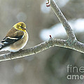 Proud Finch by Cheryl Baxter