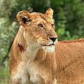 Proud Lioness by Aidan Moran