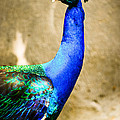 Proud Peacock by Syed Aqueel