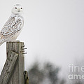 Proud Snowy Owl by Cheryl Baxter