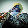 Proud To Be A Pelican by Karen Wiles