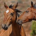 Pryor Mountain Horses Having A Conversation by Victoria Porter