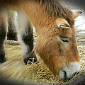 Przewalski's Horse by Emmy Vickers
